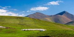 チベット 遊牧民