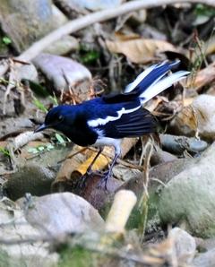 Magpie-robin (male)