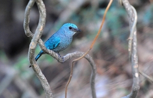 Verditer Flycatcher (Eumyias thalassina) Female 15cm