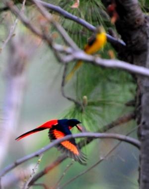 Scarlet Minivet (Male) 20cm