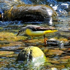 Yellow Wagtail 17cm