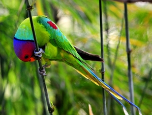 Plum-headed Parakeet (Psittacula cyunocephala) 33cm