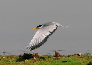 River Tern (Sterna hirundo) 36=46cm