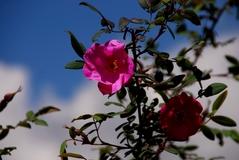 Rose macrophylla