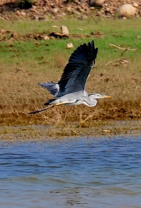 Grey Heron 98cm