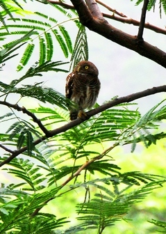 Jungle Owlet 20cm