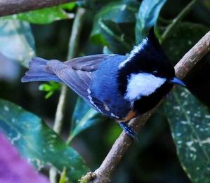 Spot-winged Tit /Crested Black Tit (Parus Melanolophus)11cm