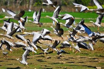 ポン湖の野鳥:Barheaded Goose (Anser indicus) 75cm