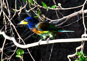 Great Barbet (Megalaima virens) 33cm