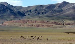 チベッタン・アンテローペ