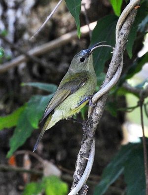 Yellow backed Sunbird/ Female (Aethopyga siparaja) 10cm