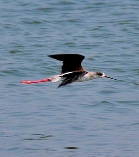 Blackwinged Stilt 25cm
