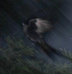Black Drongo 31cm