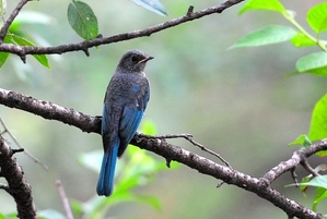 Verditer Flycatcher (Eumyias thalassina) infant15cm