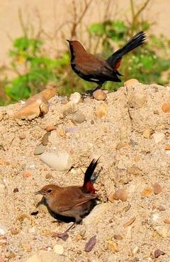 Indian robin (Male & Female) 16cm