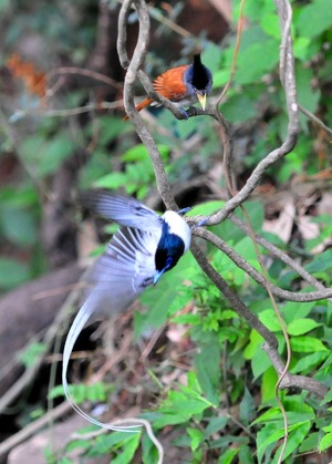 Asian Paradise Flycatcher(Terpsiphone Paradisi)