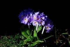 Primula .......サクラソウの一種