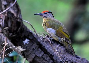 Grey headed Woodpecker(Picus canus) Male 33cm