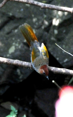 Chestnut-crowned Laughingthrush 20cm