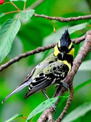 Black lored Tit (Parus xanthogenys) 14cm
