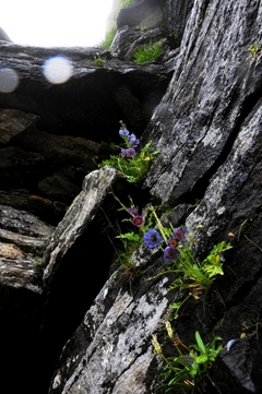 ブルー・ポピー Meconopsis aculeata