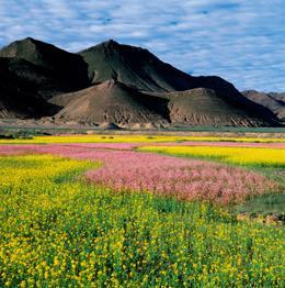 チベット草原の花々