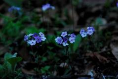 小さなサクラソウの一緒、この花は上に行っても沢山あった