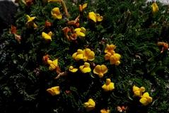 Spongiocarpella purpurea