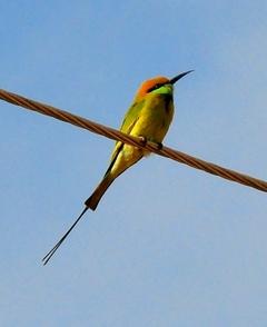 Bluecheeked Bee-eater 31cm