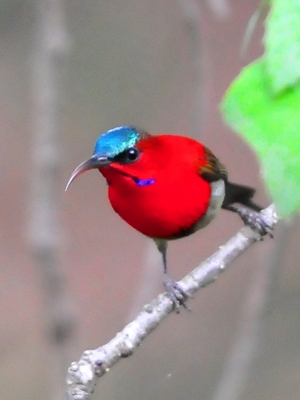 Crimson Sunbird (Aethopyga siparaja) Male 15cm
