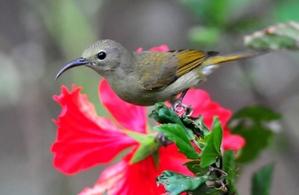 Crimson Sunbird (Aethopyga siparaja) Female 15cm