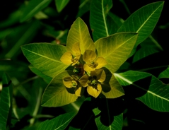 学名 Euphorbia wallichii