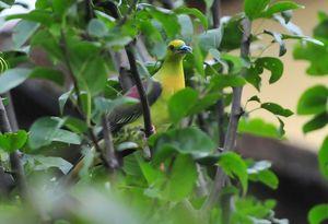 Wedgetailed Green Pigeon (Treron sphenura)33cm