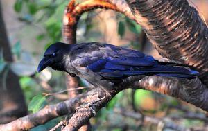 Jungle Crow (Carvus macrorhynchos)48-50cm