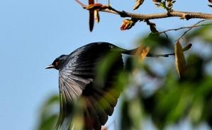 Black Drongo (Dicrurus adsimilis) 31cm