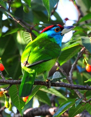 Blue-throated Barbet (Megalaima asiatica) 24cm