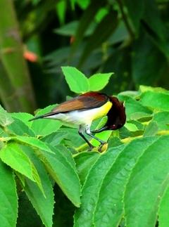 Small Sunbird (Male) 8cm