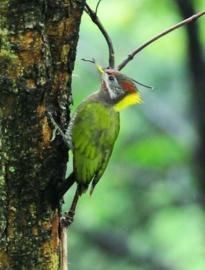 Large Yellow-naped Woodpecker (Picus flavinucha)33cm