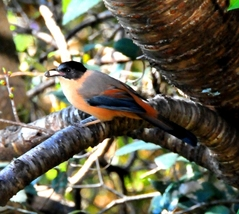 Rufous Sibia(Black-capped Sibia) 22cm