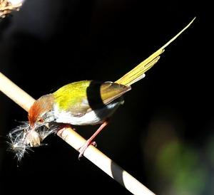Tailor Bird (Orthotomus sutorius) 13cm