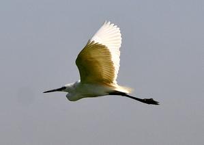 Little Egret 63cm