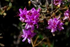 Rhododendron setosum