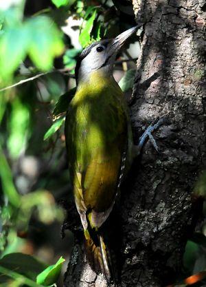 Grey headed Woodpecker(Picus canus) Female 33cm