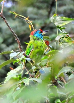 Bluethroated Barbet