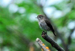 Dark-sided Flycacher( Muscicapa sibirica) 10cm