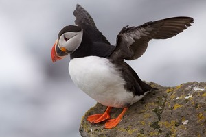 800px-Puffin_Latrabjarg_Iceland
