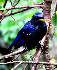 Blue Whistling Thrush 33cm
