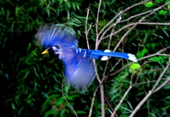 Yellowbilled Blue Magpie 70cm