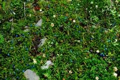 Gaulyherria trichophylla