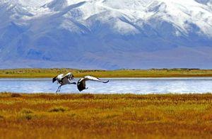 チベットの絶滅危惧種 オグロヅル